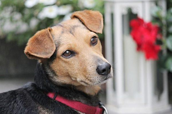 funcionan-los-ahuyentador-de-perro-perro-hibrido-marron