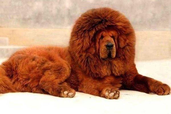 mastin-tibetano-cachorro-adulto-sentado
