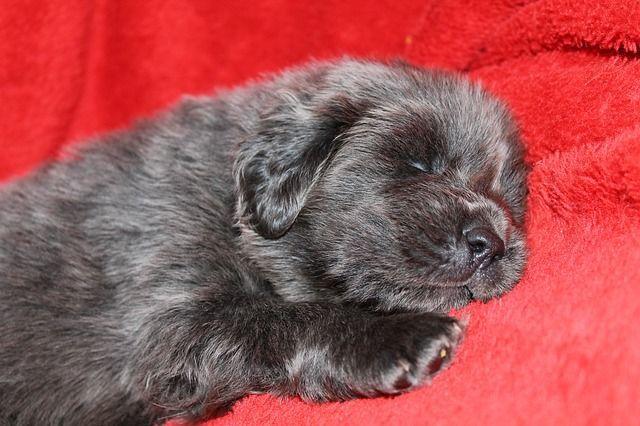 mastin-tibetano-cachorro-negro