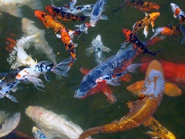 peces-agua-fria-koi-de-colores