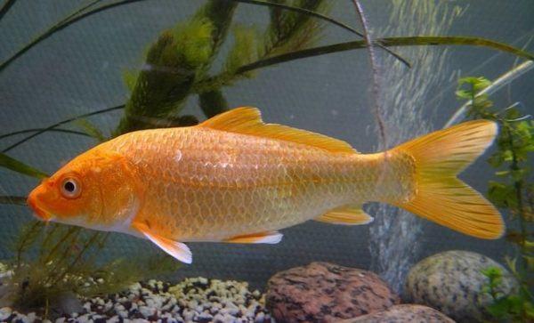 peces-agua-fria-koi-naranja
