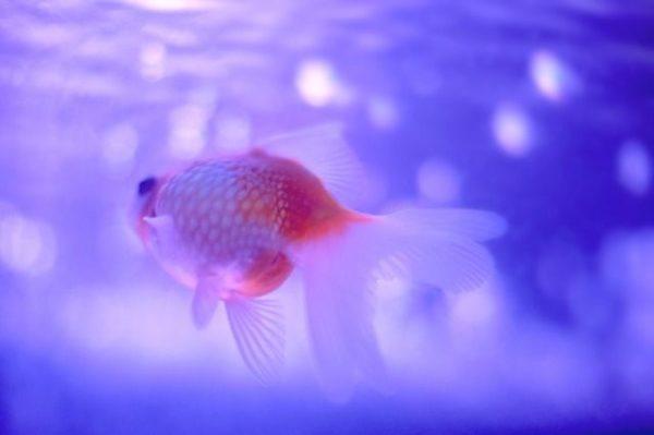 Peces de agua fr a cuidados tipos y fotos for Los mejores peces de agua fria