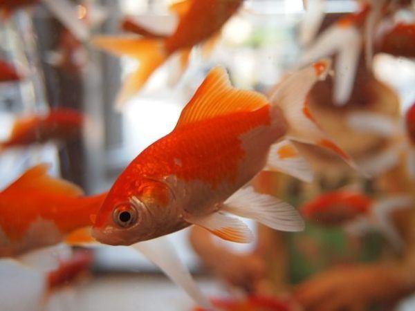 peces-agua-fria-pez-goldfish-naranja