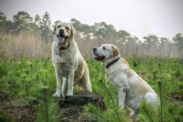 que-es-ahuyentador-de-perro-dos-labradores