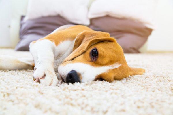Alimentos que son veneno para perros