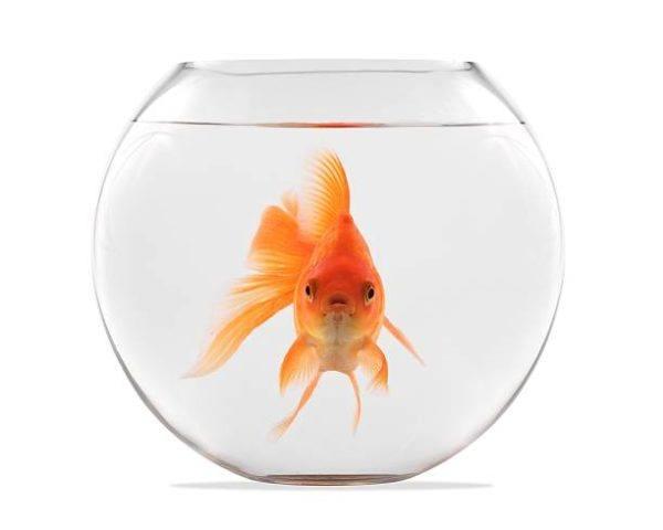 Peces de agua fria goldfish