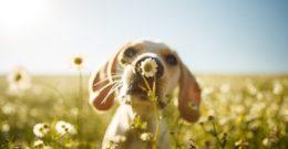 Plantas, alimentos y medicamentos que son veneno para perros ¡Cuidado!
