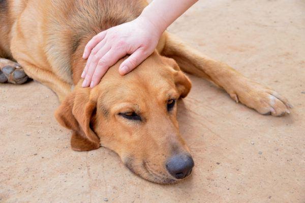 Por que se produce la epilepsia en los perros sintomas tratamiento y prevencion