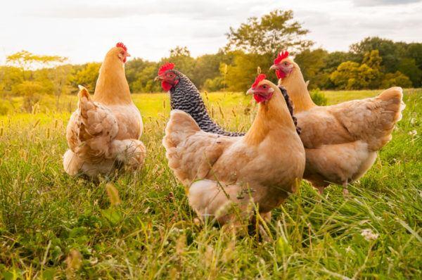 Animales omnivoros gallina