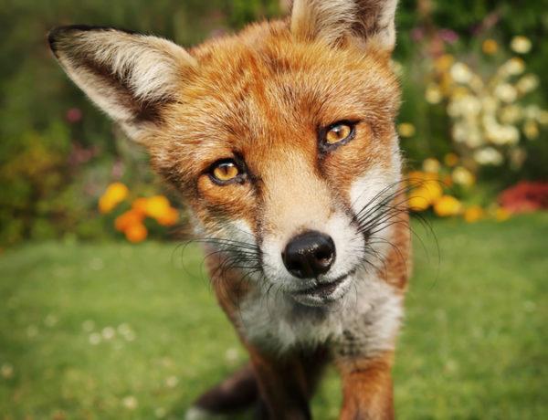 Animales omnivoros zorro portada