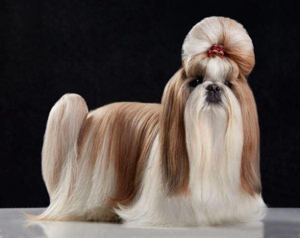 Fotos de perros de raza shih tzu perro pelo largo