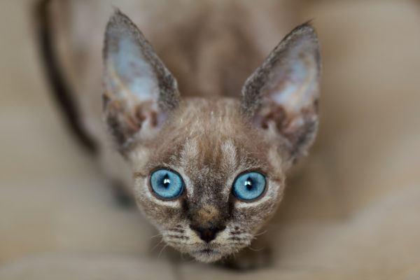 Gato devon rex ojos