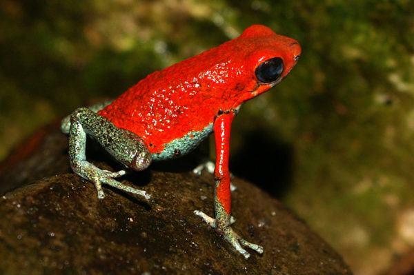 16 ranas más bellas del mundo pero mortales - AnimalesMascotas