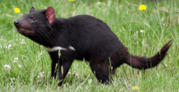 Las características del Demonio de Tasmania: un animal en el peligro de extinción