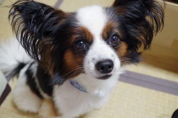 los-perros-mas-pequenos-del-mundo10