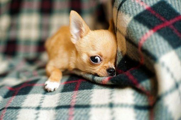los-perros-mas-pequenos-del-mundo2