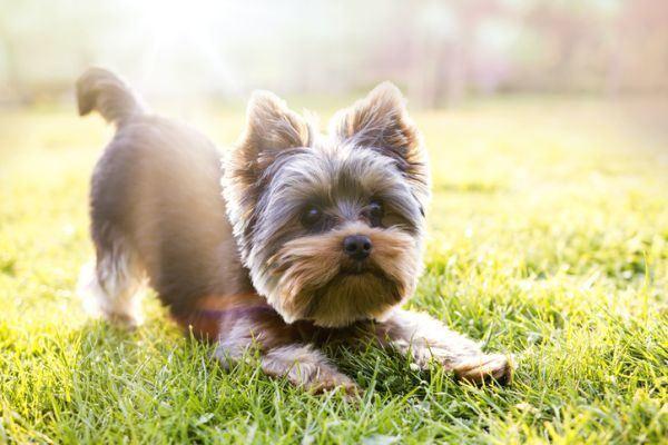 perros-que-no-sueltan-pelo-yorkshire-istock