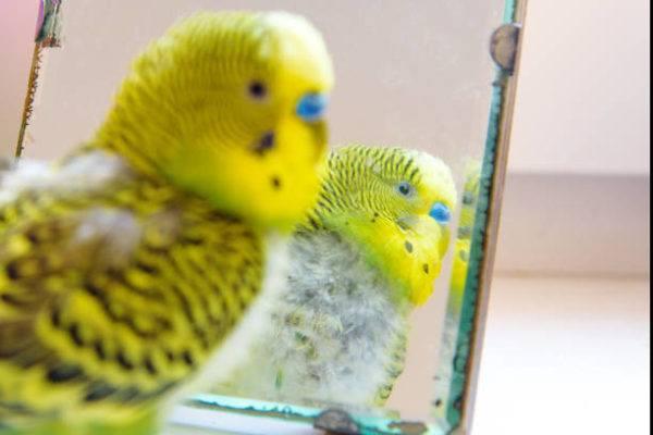 Accesorios para pajaros espejo