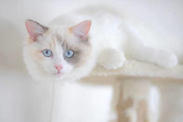Gatos radgoll caracter