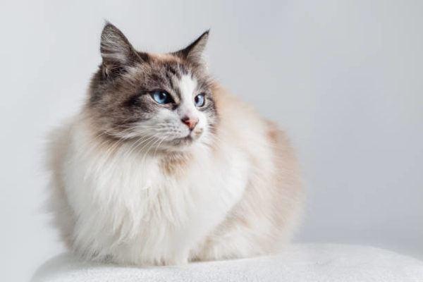 Gatos radgoll cuidados caracter fotos