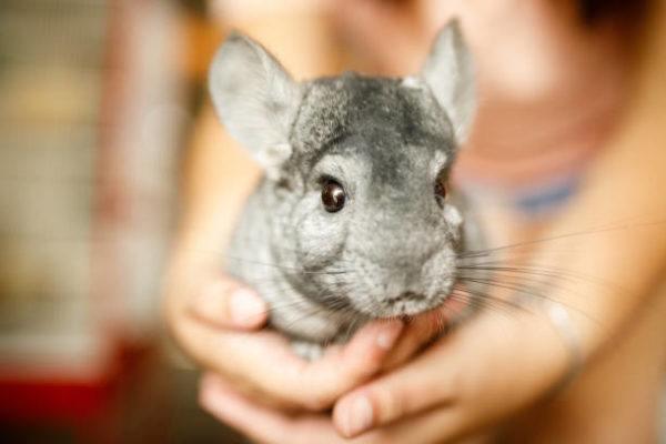 Los animales exoticos mas aptos para tener de mascotas chinchilla