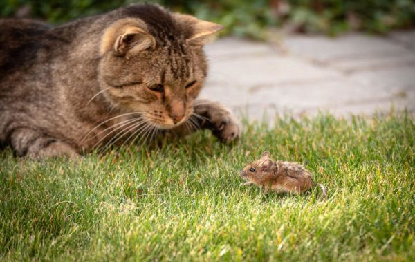 Un gato cazando un ratón