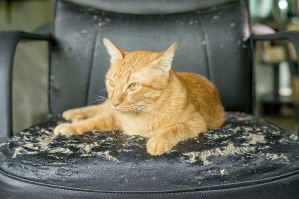 Por qué el gato araña la silla o sofá