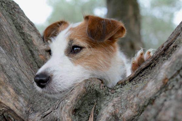 Que es la dirofilaria tratamiento prevencion nuestros perros