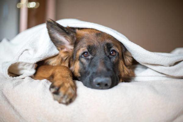 Que es la dirofilaria tratamiento prevencion perros