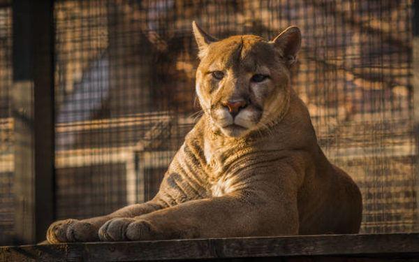 Animales que se extinguieron el ano pasado puma oriental