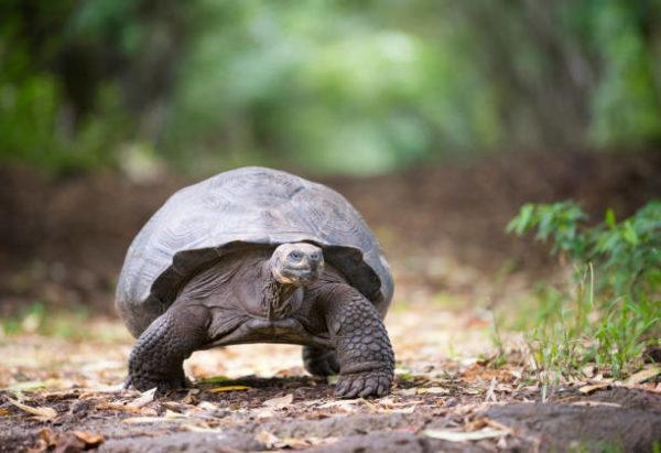 Animales que se extinguieron el ano pasado tortuga gigante pinta