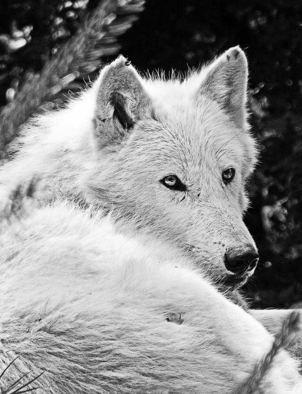 Lobo blanco caracteristicas alimentacion caza
