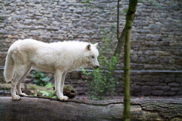 Lobo blanco caracteristicas alimentacion colores