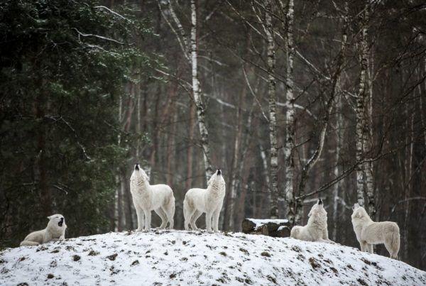 Lobo blanco caracteristicas alimentacion comida