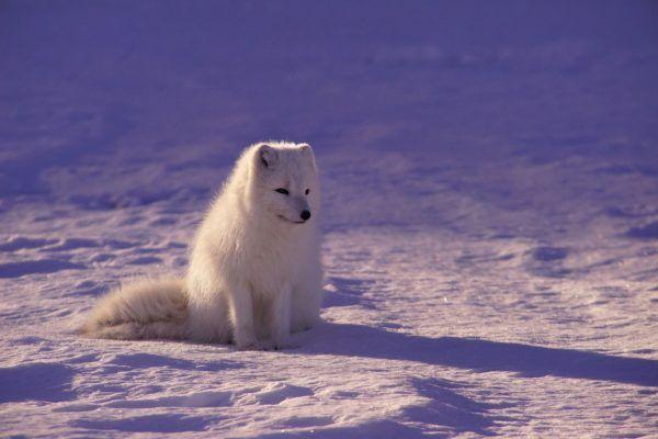 Lobo blanco caracteristicas alimentacion