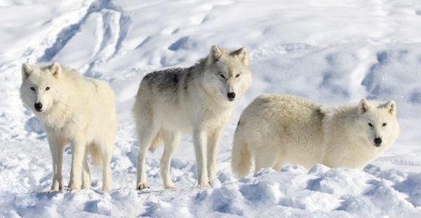 Lobo blanco caracteristicas alimentacion manada