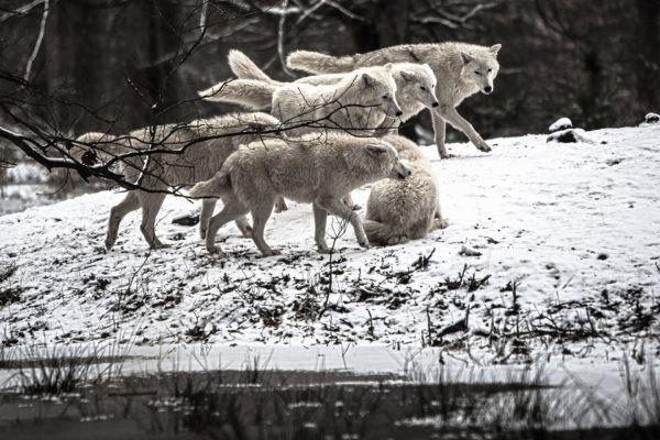 Lobo blanco caracteristicas alimentacion pareja