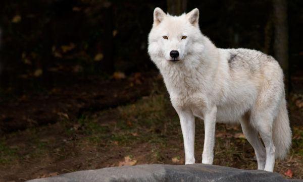 Lobo blanco caracteristicas alimentacion peso