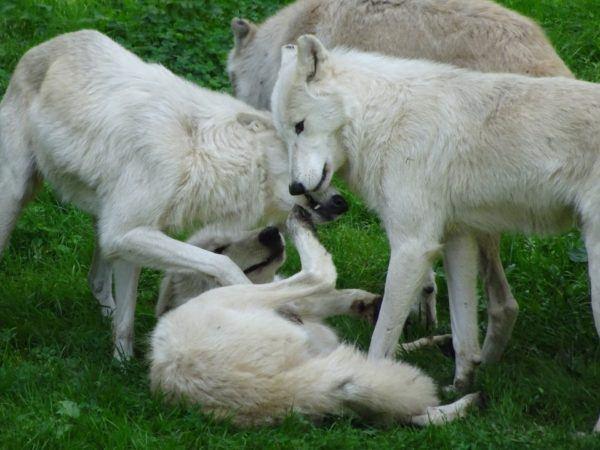 Lobo blanco caracteristicas alimentacion tamano