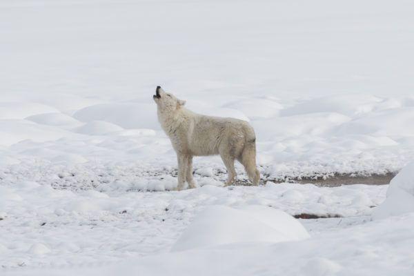 Lobo blanco caracteristicas alimentacion vida