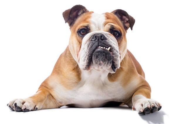 Bulldog ingles caracteristicas
