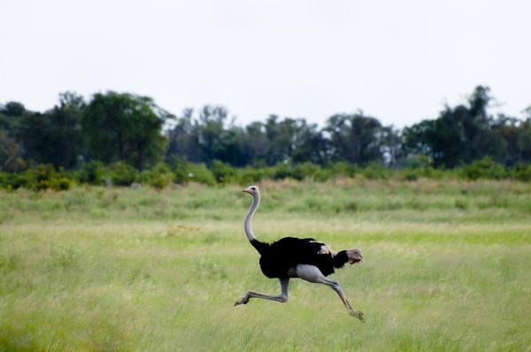 Los animales de africa avestruz