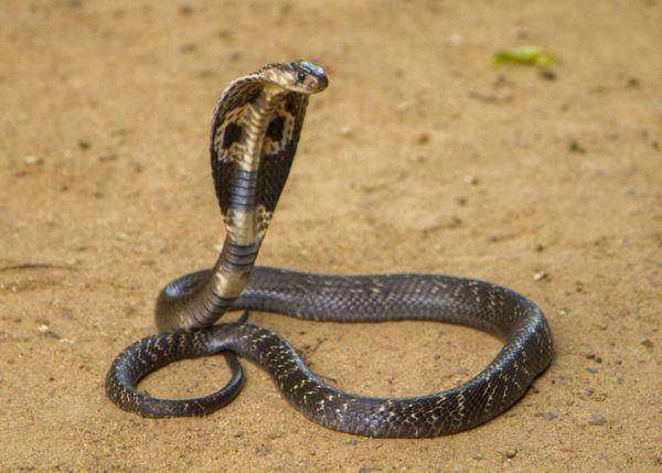 Los animales de africa cobra