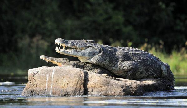 Los animales de africa cocodrilo