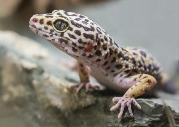 Los animales de africa gecko