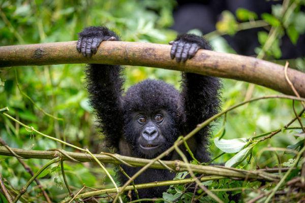 Los animales de africa gorila