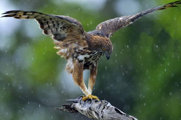Los animales de africa halcon