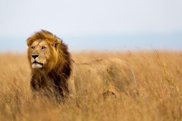 Los animales de africa leon.