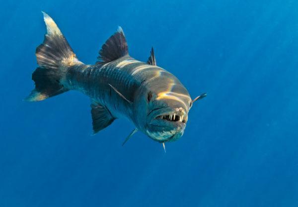 Los animales de oceania barracuda