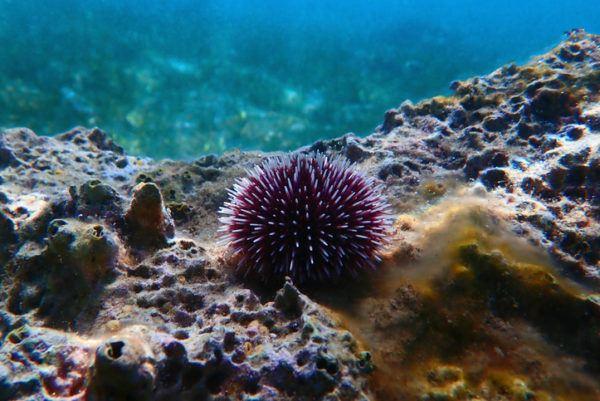 Los animales de oceania erizo mar